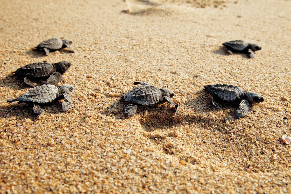 Baby turtles crawling over sand.